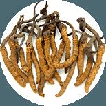 Cordyceps čínský