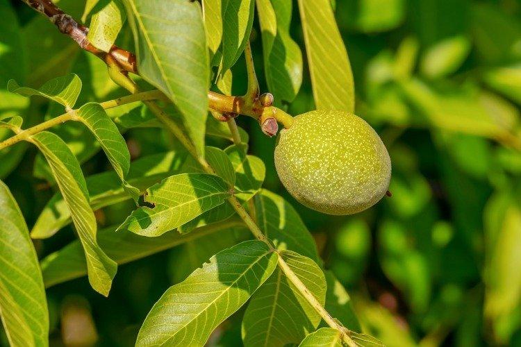 List ořešáku s vlašským ořechem