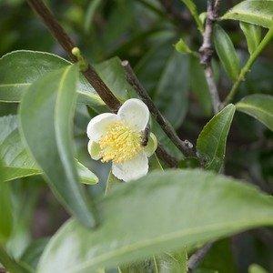 Tea Tree_zmenšená